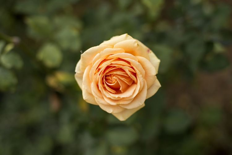 Close-up of rose flower