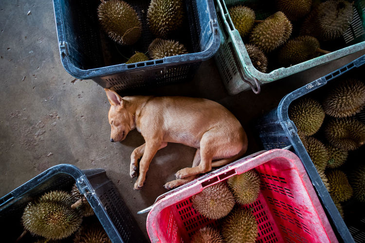 Dog sleeping amount thorny durians. Animal Animal Themes Asian  Comfortable Cute Dachshund Day Dog Domestic Animals Durian Durian Farm Fruit Guard Dog Indoors  King Of Fruits Malaysia Mammal One Animal Peaceful Penang Pets Puppy Resting Sleep Thorns