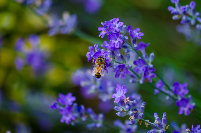 Bee Been There. Animal Animal Themes Animal Wildlife Animals In The Wild Beauty In Nature Bee Close-up Flower Flower Head Flowering Plant Fragility Freshness Growth Insect Invertebrate Lavender No People One Animal Petal Plant Pollen Pollination Purple Vulnerability