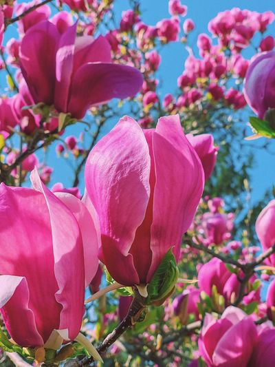 Magnolias 🌸... Flora Blossom Pink Flower Pink Blooming Flower Travel Sky Spring Flowers Spring Garden Magnolia Pink Color Flowering Plant Flower Plant Close-up Freshness No People Backgrounds Fragility Full Frame Vulnerability  Flower Head Petal Nature Beauty In Nature Multi Colored Growth Decoration Outdoors