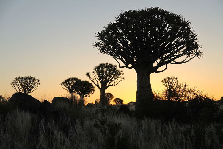 Quivertree  Quivertreeforest Silhouette Sunset Tranquil Scene