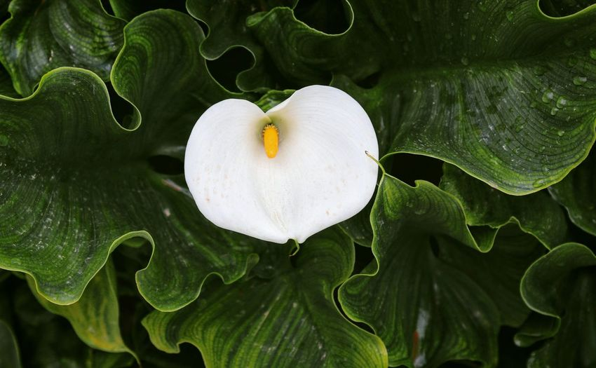 White Lily Arum Lily  Calla Lily Flower Collection Green Leaves Taking Photos Feeling Creative OpenEdit EyeEm Best Shots Freshness EyeEm Nature Lover Nature High Angle View Flower Flower Head Leaf Full Frame Heart Shape Close-up Plant