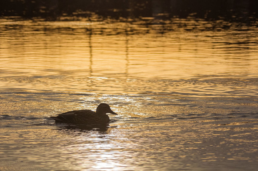 Silhouette of a mallard duck during sunset. Silhouette Animal Themes One Animal Animals In The Wild Animal Wildlife Water Sunset Nature Outdoors Swimming Beauty In Nature Bird Day Light And Dark Light And Shadows Duck Mallard NatureContrast Nature_collection Nature Photography Naturelovers Bird Photography Birds Of EyeEm  Birds_collection