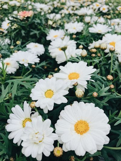 High angle view of white daisy flowers