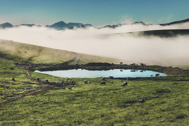Sheep at the waterhole Beauty In Nature Water Scenics - Nature Grass Landscape Land Sky Environment Nature Field Mountain Green Color Animal Themes Outdoors Fog Foggy Morning EyeEmNewHere EyeEm Nature Lover EyeEm Gallery Sheep Waterhole Non-urban Scene Field My Best Photo