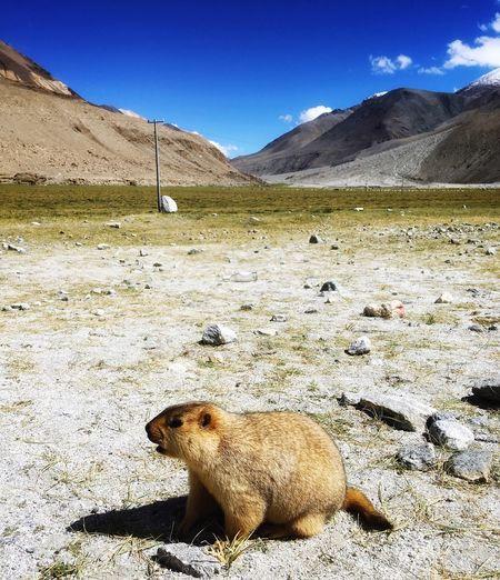 marmot Nature