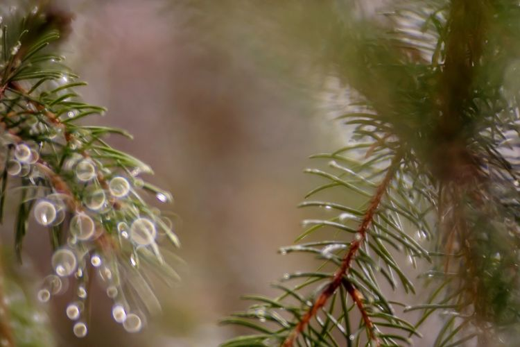 fir tree branches on a foggy autumn day in a forest Autumn Fall Switzerland Lucerne Kriens Green Needles Macro Lensbaby  Lensbaby Velvet 85 Tree Water Close-up Plant Needle - Plant Part Drop