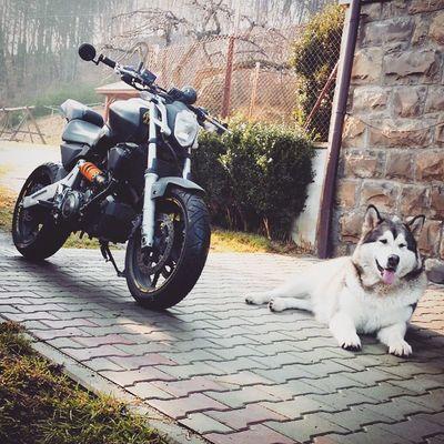 """""""Tata wyciągnął moto z garażu - jedno pytanie, gdzie do cholery jest miejsce dla mnie?!"""" - Malamute Django Zagwostkipiesełów Mt03 motorcycle"""