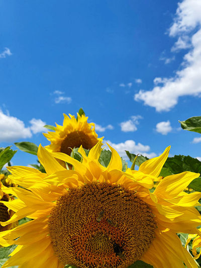 Close-up of sunflower against blue sky