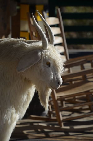 Animal Themes Close-up Day Domestic Animals Goat Kid Goat Mammal No People One Animal Outdoors
