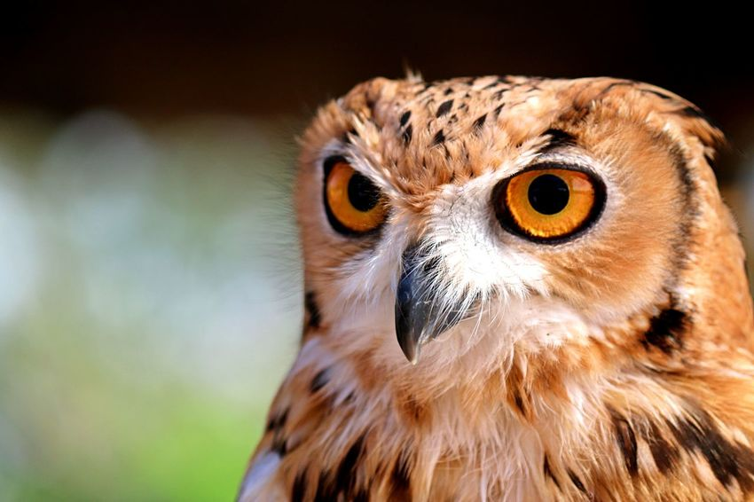 eagle owl Desert Owl Eagle Owl  Nature Animal Animal Body Part Animal Eye Animal Head  Animal Themes Animal Wildlife Animals In The Wild Beak Bird Bird Of Prey Black Background Close-up Day Desert Eagle Owl Eyeball Looking At Camera Nature No People One Animal Outdoors Owl Portrait