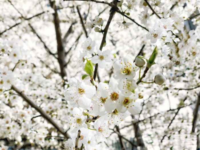 Background Flower Spring Apple Plant Flower Flowering Plant Fragility Blossom Springtime Beauty In Nature Tree Freshness Growth Branch White Color Nature No People Day Twig Cherry Blossom