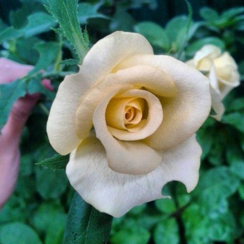 ปล่อยคืนและวันให้เดินของมันไป -- ปล่อยเวลาให้หมุนผ่าน .. ปล่อยให้โลกนี้หมุนไป ~ .. สุนทรีแต่เช้า 🌹 Goodmorningwednesday Rosé Scrubb Inchantree