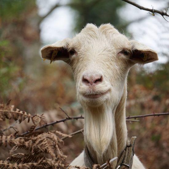 elegant white goat Goat Animal Portrait Eyes Hair Ears Nature Rural Scene Animal Themes Day Land Barrier Herbivorous Animal Head  Outdoors Bacground Wallpaper Autumn Beauty In Nature White Elegant