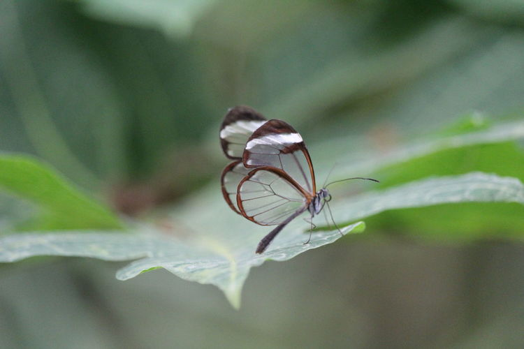 Transparent Transparent Wings Small Leaf Butterfly - Insect Insect Close-up Animal Wing