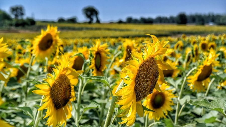 Sunflowers Field Sunflower Sunflowers🌻 43 Golden Moments 43GoldenMoments Turkey Yeşil Bursa Bursalovers Bursa Turkishfollowers Turkeyphotos Bursadazaman Getting Inspired Hello World Taking Photos Check This Out Eye4photography  Eye For Photography Eyemphotography EyeEm Best Shots