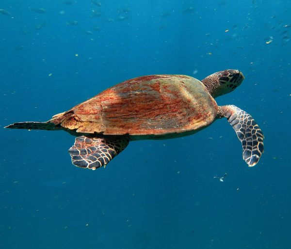 Close-up of tortoise swimming in sea