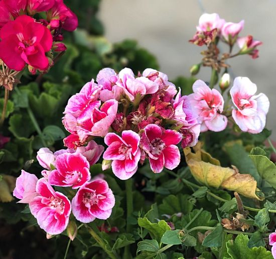 Flower Pink Color Beauty In Nature Growth Nature Petal Plant Fragility Flower Head Outdoors No People Day Freshness Focus On Foreground Close-up Blooming