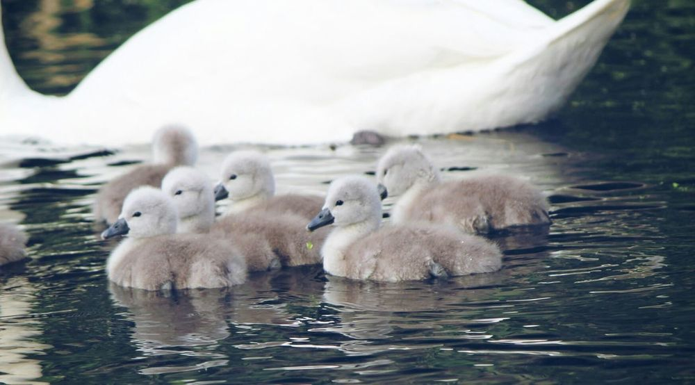 Swans Cygnets Swan Nature Walking Around Beautiful Birds Photography Ilovenature Closeup Check This Out