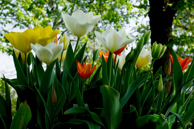 tulips Flowering Plant Flower Plant Beauty In Nature Freshness Petal Growth Fragility Vulnerability  Close-up Flower Head Inflorescence No People Nature Green Color Yellow Field Land Day White Color Tulip Outdoors Springtime Spring Flowerbed
