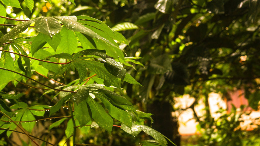 when the rain stops, life begins to grow EyeEm Best Shots EyeEm Nature Lover Tapioca Nature Nature_collection Nature On Your Doorstep After Rain Tree Leaf Branch Sunlight Close-up Green Color Plant Needle - Plant Part Lush - Description The Street Photographer - 2018 EyeEm Awards