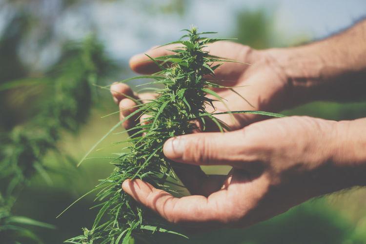 Man farmer holding marijuana at cannabis plantation.