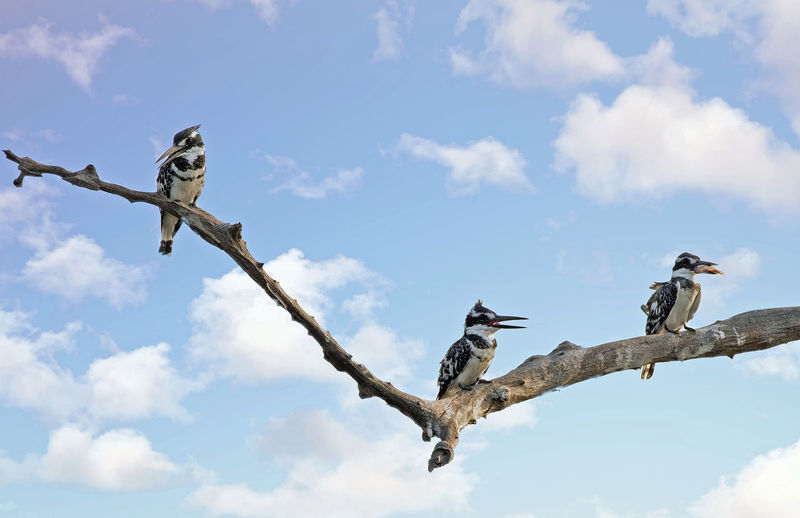 Animal Wildlife Animals In The Wild Animal Themes Cloud - Sky Bird Group Of Animals Tree Nature Day No People Branch Outdoors Low Angle View Pied Kingfisher Three Little Birds Fish Cloudscape Lake Kariba Zimbabwe Bird Watching Avian Black And White Speckled Beauty In Nature