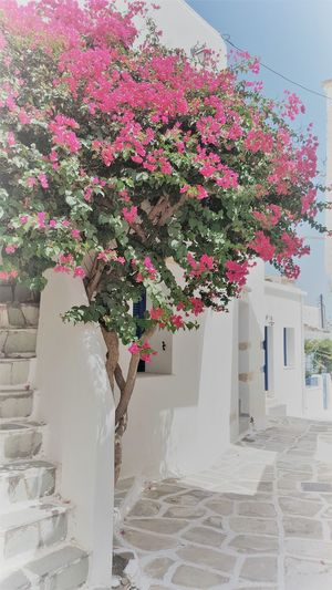 Pink flowering plant by house against building