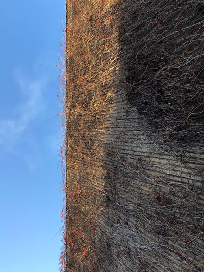 Ded Vines On Wall Dead Vines Plants Growing Plants Plant Vines On Walls Vines On Wall Vines Growing On Building Vines On Building Vines Blue Sky Day No People Outdoors Nature Sky Beauty In Nature