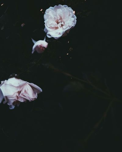 Close-up of white rose against black background