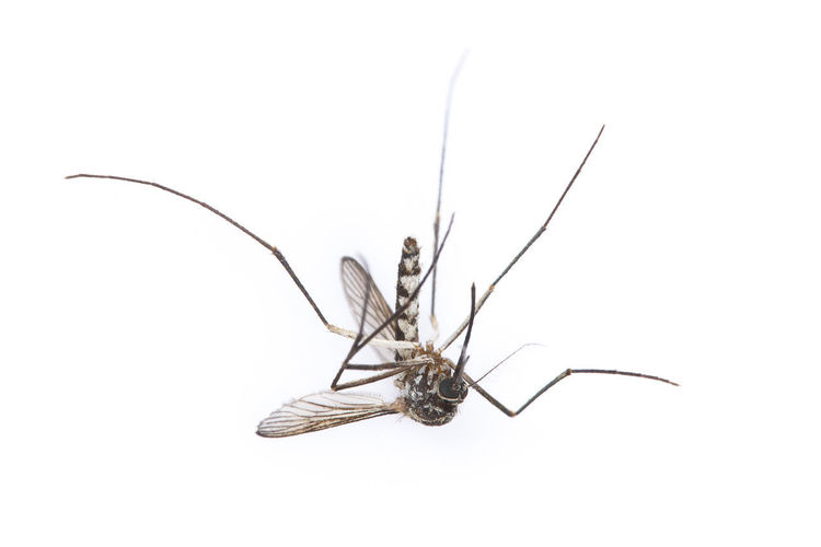 Aedes Animal