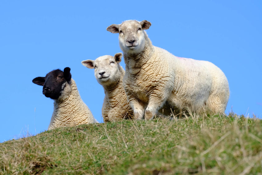 Animal Themes Countryside Cute Day Domestic Animals Farm Field Grass Hill Ireland Lamb Livestock Low Angle View Mammal Nature No People Northern Ireland Outdoors Sheep Sky Togetherness Travel