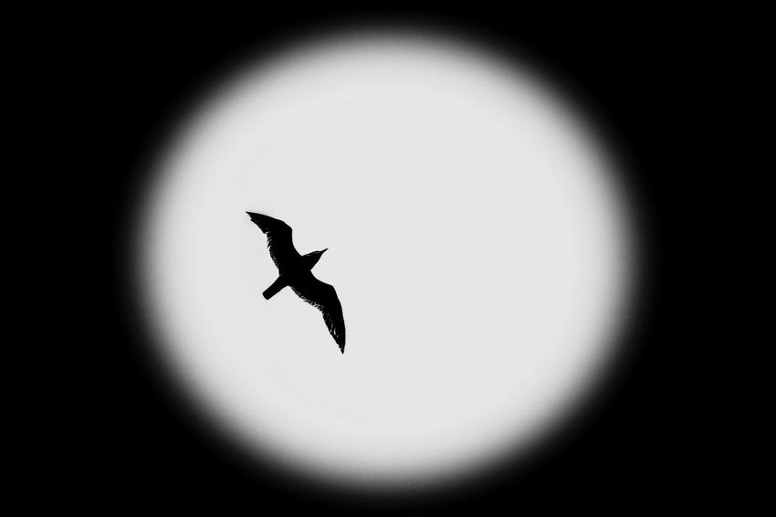 Silouhette Bird One Animal Animal Themes Flying Animals In The Wild Silhouette No People Mid-air Close-up Spread Wings Nature Day Outdoors