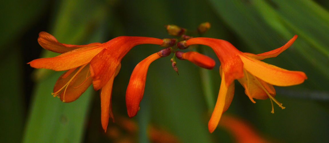 Botany Plant Red Flower Garden Nature Crocosmia Montbretia Flower Macro Botanical