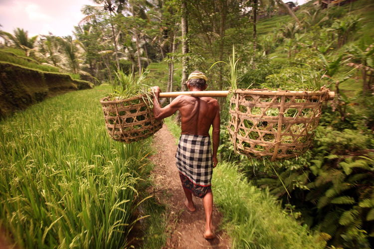Rear View Of Senior Farmer Carrying Plants In Baskets On Shoulder