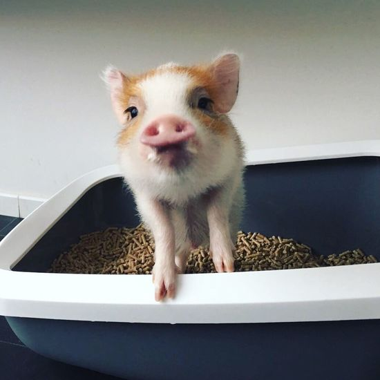 Pets One Animal Looking At Camera Funny Schwein Pig Apartment