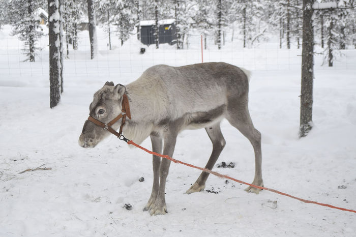 Reindeer farm in Saariselka, Lapland. Animal Animal Themes Animals In The Wild Cold Cold Temperature Day Farm Finland Lapland Mammal Moose Nature No People North Outdoors Pine Pine Tree Pine Woodland Reindeer Reindeer Sighting Safari Snow Snow Covered Winter Winter Wonderland