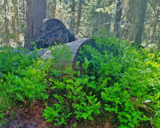Green Nature Forest Photography Green Leaves Nature_collection Fallen Tree Nature On Your Doorstep Walk In The Woods Walk With Me Walk In The Mountains Greenery Colorado