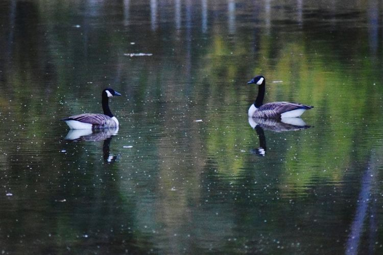 Geese Birds Goose Nature Nature_collection Nature Lover Wildlife Wildlife & Nature Wildlifephotography Water Animals In The Wild Bird Reflection Nature Water Surface Beauty In Nature Animal