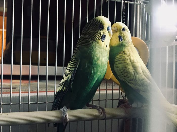Animal Themes Animal Vertebrate Parrot Cage Animals In Captivity Bird Group Of Animals Animal Wildlife Budgerigar Birdcage Parakeet Perching Close-up Two Animals Indoors  No People Pets Domestic