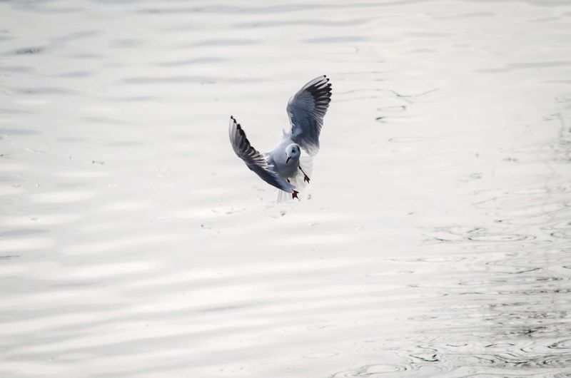 High angle view of seagull flying over lake