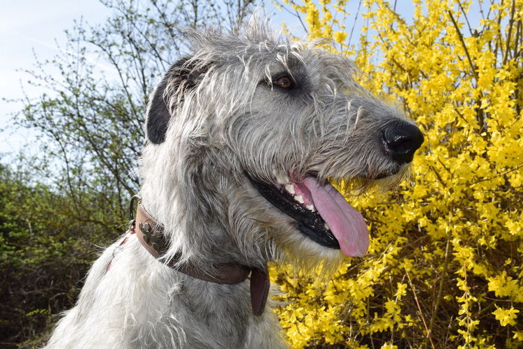 Forsythia Animal Head  Domestic Animals Pets Outdoors A Walk In The Park How Is The Weather Today? Spring 2017 Looking At Camera Bokeh Dogs Of Spring Dogwalk Dog Of The Day Cearnaigh Dogs Of EyeEm Animal Themes Irish Wolfhound Dog Animal Head  Portrait Blossom