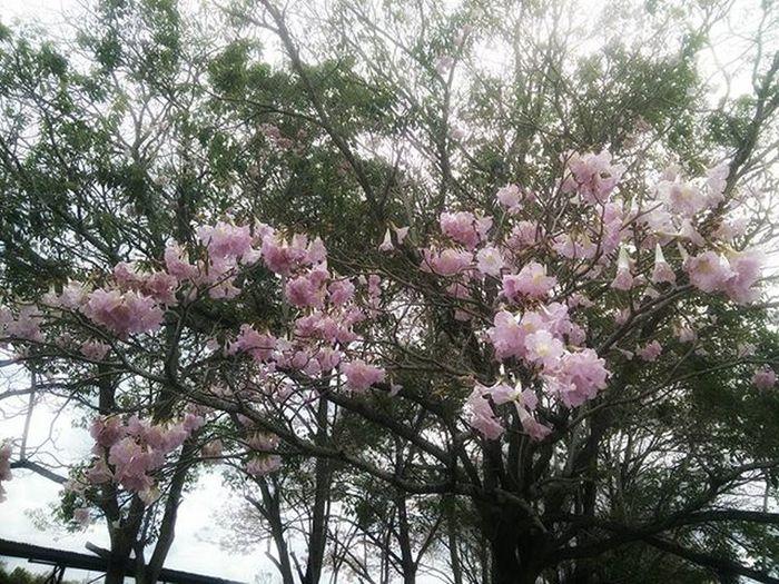 Exam countdown has begun. Marked by the flowering of the Pouitrees Tree Poui Pink Pinkpoui Apamate Tabebuiarosea T-minus 26 days Draft Draftking Draftmode Draftneverdone Pace Unilife Sleepisfortheweak Studying Studytime