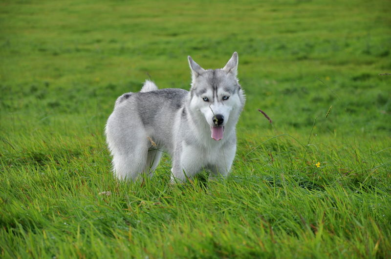 Siberian Husky Elza Animal Themes Day Dog Domestic Animals Field Full Length Grass Green Color Growth Husky Mammal Nature No People One Animal Outdoors Pets Siberian Wolf