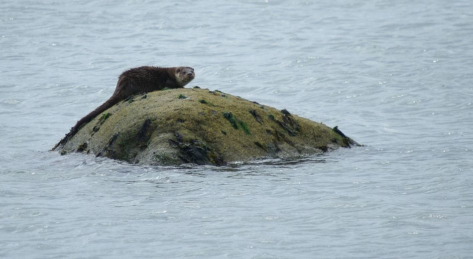otter, Jura, Scotland Water Sea Nature Beauty In Nature Shore Nature Animal Themes Wildlife Animals In The Wild One Animal Mammal Lutralutra Scotland Scottish Highlands Jura