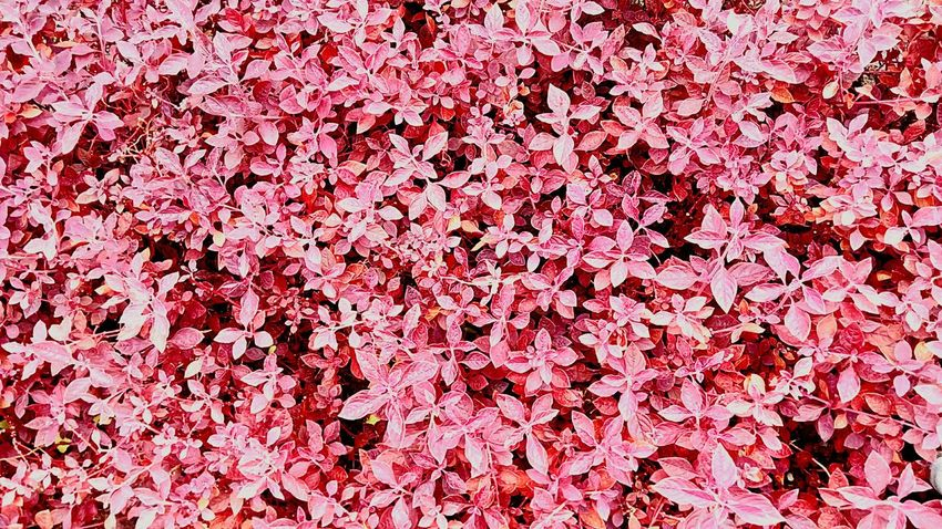 Flower Ornamental Plants Flower And Leaves Pink Pink Color Leaves Pink Leaves Pink Tones Leaf Leaves Color Nature Color Gardening Close-up Gardening Flower Photography Flower Collection Leaves Pattern Pattern Beauty Of Nature Beautiful Nature Colorful Flowers