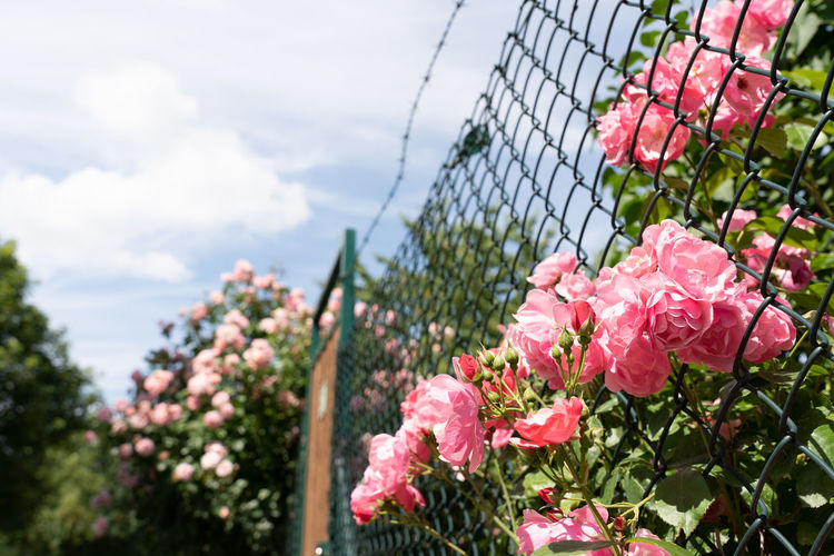 Close-up of pink flowering plants by fence against sky