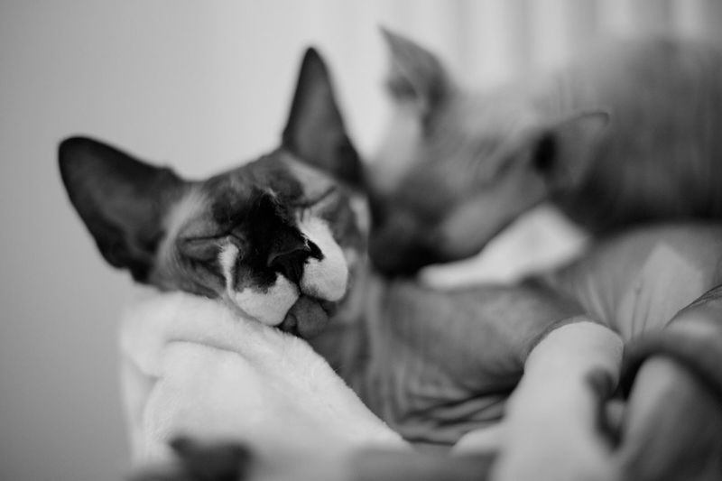 Close-Up Of Sphynx Hairless Cats Sleeping At Home