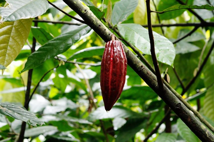 Hello World ! Hello Bali Hello Asia Hello Indonesia Close-up Leaf Nature Beauty In Nature Outdoors Botany Cacao Bean Coffee Plantations Freshness Life In Indonesia Eye For Details Taking Photos Click Click 📷📷📷 Bali, Indonesia Beauty In Nature Real Life Colorful