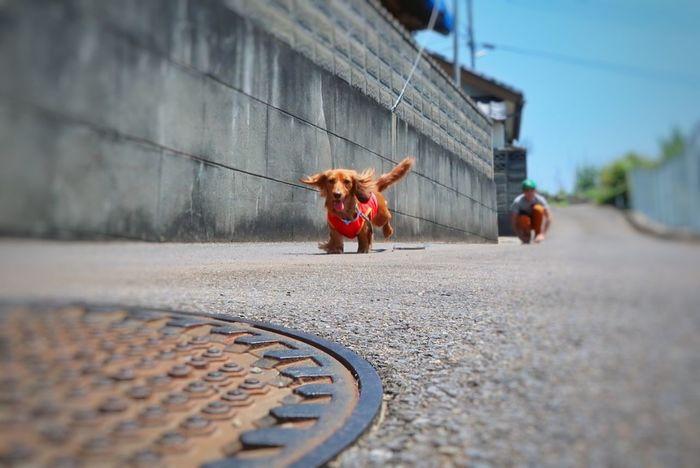 ベリーちゃん ミニチュアダックスフント カニヘンダックス 飛ぶ犬 ペット わんこ 犬 Dog Pets One Animal Outdoors One Person Day Nature Lover Nature Beauty In Nature EyeEm Nature Lover People Sky 空 写真好き EyeEm Best Shots 朝チャリ Animal Themes